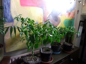 Chili plants nov 13th 2015